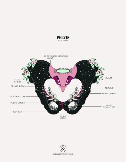 Duvet-Days_Anatomy-Illustrations_8.5x11_Pelvis-Anatomy